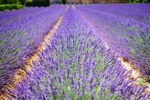 lavender-flowers-1595487_960_720