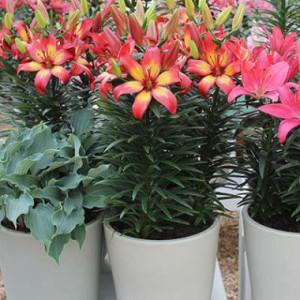 Горшечные лилии фото, описание, смотреть