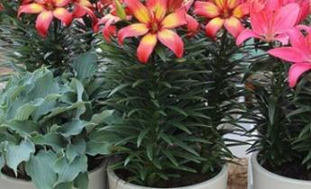Горшечные лилии: выращивание и уход