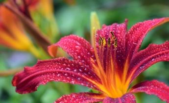 Цветники: хосты и лилейники