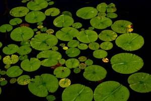 растения в водоеме