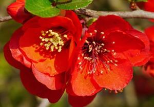 ornamental-quince-1338462_960_720