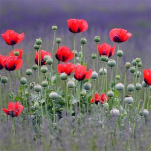 papaver-beauty-of-livermere-3