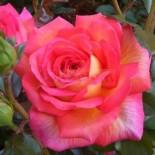 Вы хотите иметь в своем саду здоровые и обильноцветущие розы?