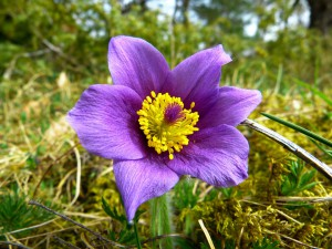 pasque-flower-323193_960_720