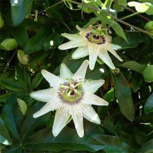 passiflora-constance-elliot-4