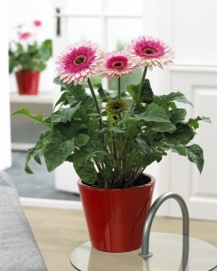 patio_gerbera_everglades_1