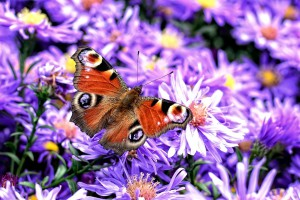 peacock-butterfly-981139_960_720