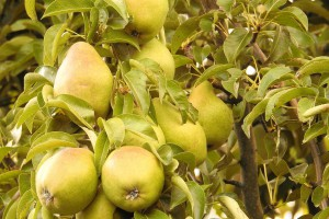 pears-1612534_960_720