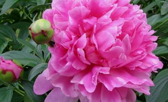 Травянистые пионы – виды и сорта