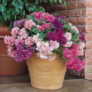 petunia-double-cascade-mix-1