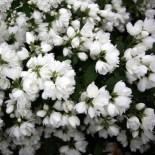 Жасмин – божественный цветок…