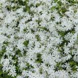 Чем примечательный флокс Early Spring White