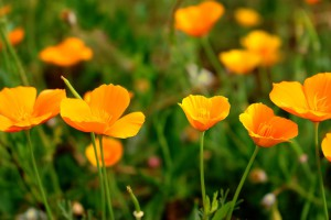 poppy-1531237_960_720