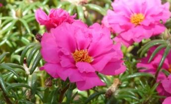Портулак – разноцветный коврик в саду…