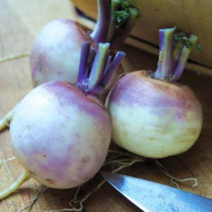 purple_top_white_globe_turnip