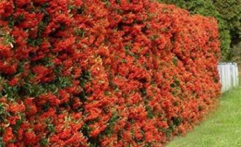 Урок – 14. Цветущие живые изгороди заборы и стены