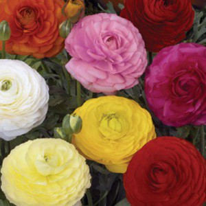 ranunculus-tomer-mixed