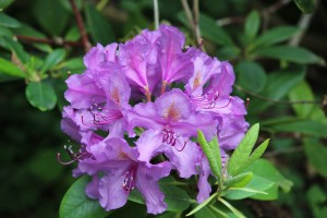 rhododendron-2461923_1280