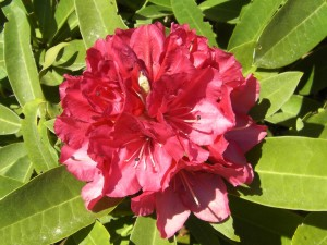 rhododendron-383695_1280
