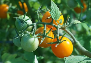 ripening-tomatoes-1530464_960_720