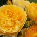 Розы Дэвида Остина крупным планом