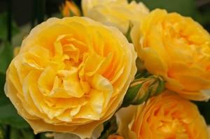 Розы Дэвида Остина фото описание смотреть