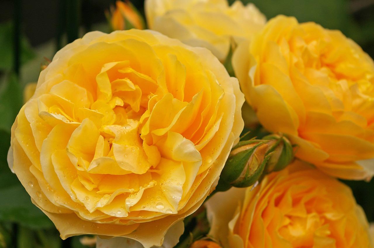 Сорт роз джульетта