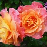 Какие садовые розы подойдут для вашего сада?