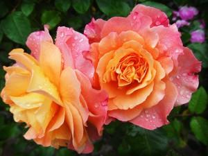 садовы розы