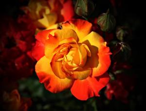 rose-408341_960_720