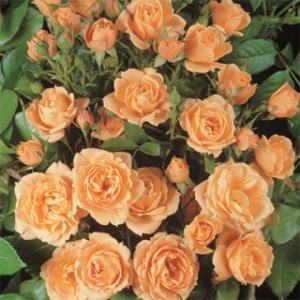 rose-apricot-clementine-1
