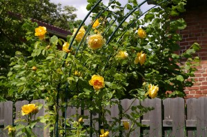 rose-arch-2478356_1280