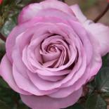 А вы видели синие розы?
