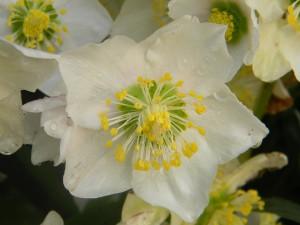 первые весенние цветы фото, описание, смотреть