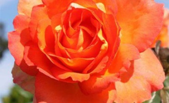 Розы какого цвета высадить на клумбе