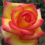 Выбираем розы для розария…