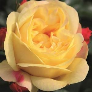 rose-lampion-2