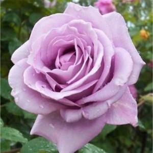 rose-mainzer-fantasht-1