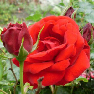 уход за розами фото, описание, смотреть