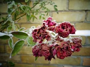 roses-1263721_960_720