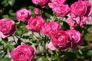 roses-1408567_1280