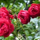 Сентябрь — время заняться подготовкой роз к зиме…
