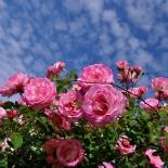 Как выбрать плетистые розы?