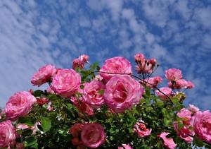 roses-411761_640