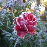 4 практических совета по подготовке роз к зиме…