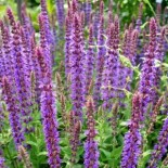 Шалфей —  это не только красивое, но и полезное растение…