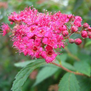 spirea-anthony-waterer
