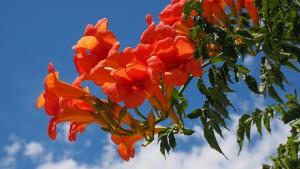 лианы в саду фото, описание, смотреть