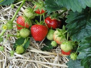 strawberries-196798_960_720